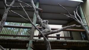 daisy hill koala park