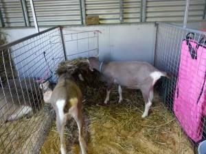 羊羊@EKKA