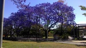 Jacarandas
