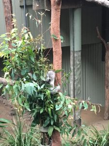 daisy hills koala center