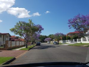 紫色樹@Sunnybank Hills